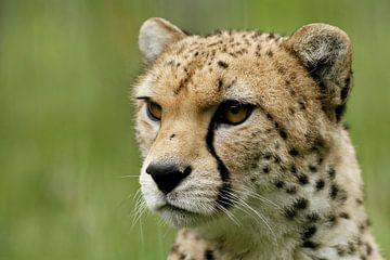 Cheetah van Heiko Lehmann