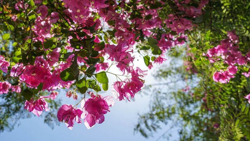 Roze bloemen in Jericho (Palestijns gebied) van Jessica Lokker