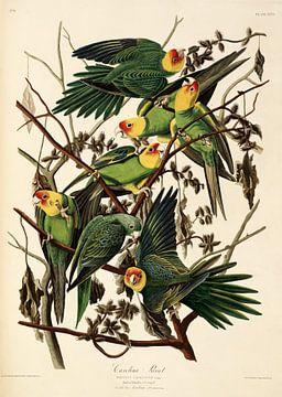 Carolina Papegaai -Teylers Edition - Birds of America, John James Audubon van Teylers Museum