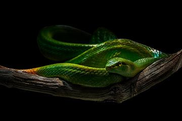 Grüne Natter von Joachim G. Pinkawa