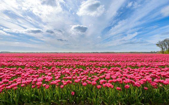 Roze tulpen in het veld tijdens een mooie lente dag van Sjoerd van der Wal