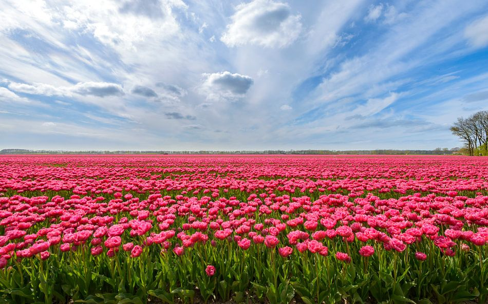 Roze tulpen in het veld tijdens een mooie lente dag