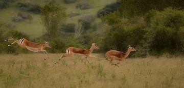 3 impala's op snelheid van Linda Manzaneque