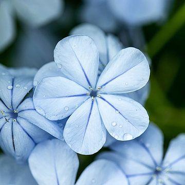Blauwe bloem Kew gardens von