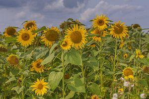 Zonnebloemen in Zuid-Holland van Karin Riethoven