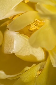 Verwundbare gelbe Tulpe von Margot van den Berg