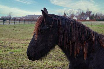 Junges schwarzbraunes Pferd mit orangefarbener Mähne von J..M de Jong-Jansen