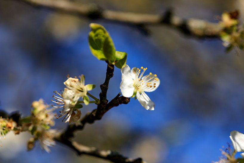 Bloesem in de lente 2 van Hans Vos Fotografie