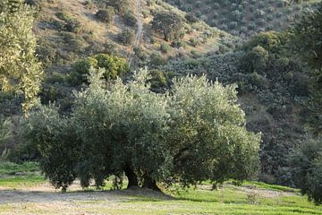 Majestueuze olijfboom van Jan Katuin