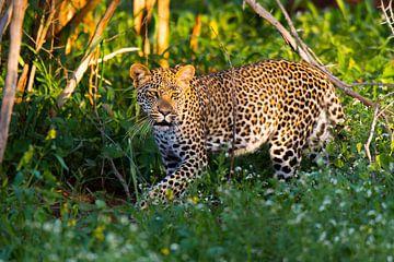 Prachtig Afrikaans Luipaard op zoek naar...  van Jack Koning