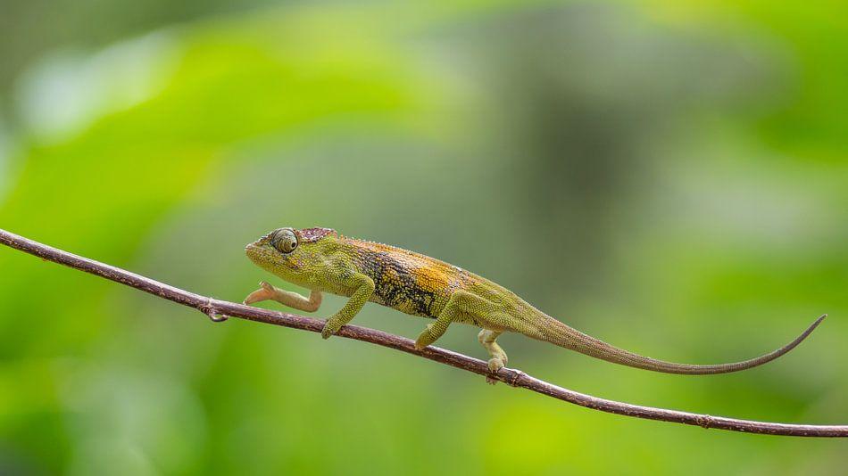 Mulanje Kameleon