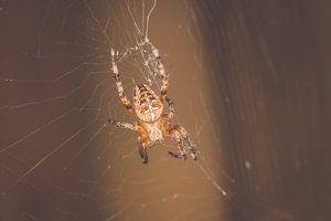 Kruisspin in web van