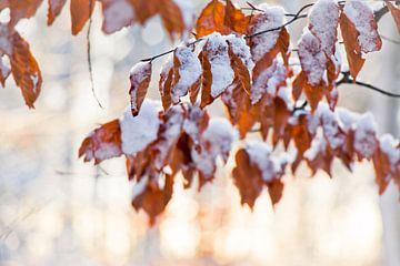 Blätter mit Schnee in der Sonne von Laura Weemering