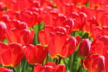Rode tulpen in tegenlicht von Antwan Janssen
