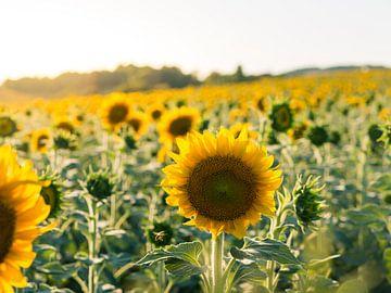 Sonnenblumenfeld mit fliegenden Bienen von Art By Dominic
