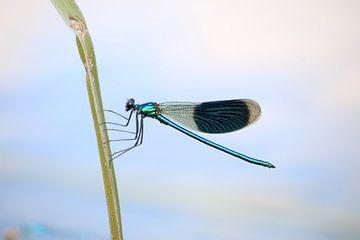 Kleinlibelle auf einem Schilfrohr (1 von 2) von Jeroen Gutte