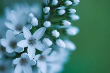 witte bloem von Carolina D'Andrea
