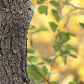 Bosuil in de boom in een pracht herfst setting van Michael Kuijl