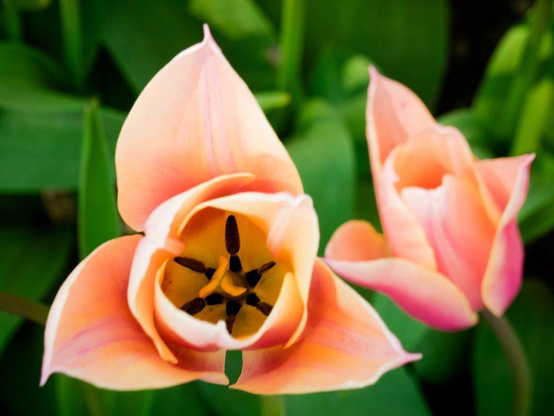 Tulpe von oben von Martijn Tilroe