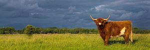Schotse Hooglander in landschap