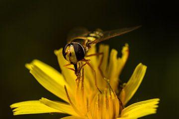 Solitaire zweefvlieg op een gele bloem van Frank Hoekzema