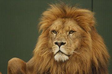 Leeuw of Panthera leo van Cora Unk