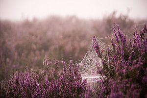 Spinnenweb op de paarse heide
