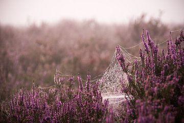 Spider web on the purple heather sur Milou Oomens