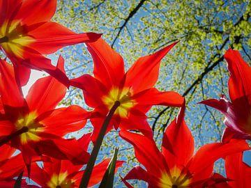 Rode tulpen van Peet Romijn