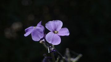 Lila Blumen von Customvince | Vincent Arnoldussen