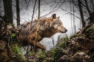 Grijze wolf van Frans Lemmens