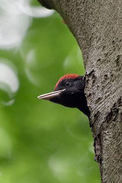 Zwarte specht ( Dryocopus martius ) jong mannetje, brutaal uit de broedgrot, wild, Europa. van wunderbare Erde