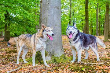 Zwei Schlittenhunde stehen zusammen am Baum im Wald von Ben Schonewille