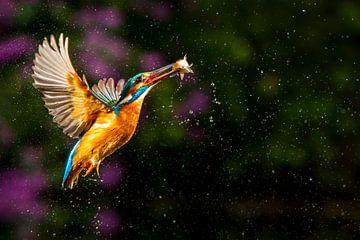 Eisvogel von Antwan Janssen