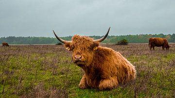 Schotse hooglander   Landgoed Huis ter Heide van Freddie de Roeck
