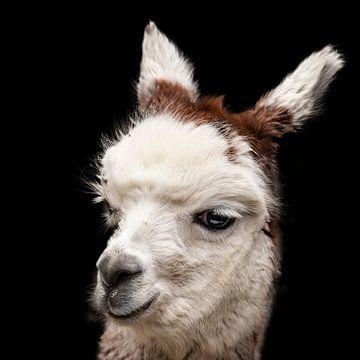 Alpaka, Porträt. Berglama. von Gert Hilbink