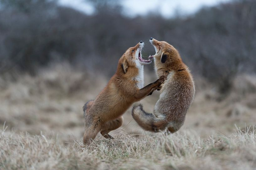 Red Foxes ( Vulpes vulpes ) in hard fight, fighting, standing on hind legs, biting each other, while van wunderbare Erde