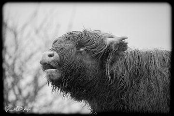 schottischer Highlander von SjennaFotografie