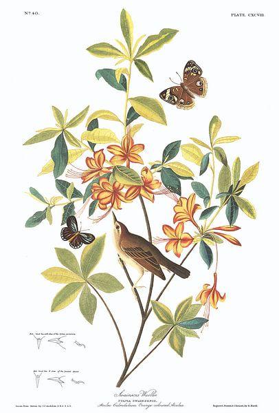 Swainsons Zanger van Birds of America