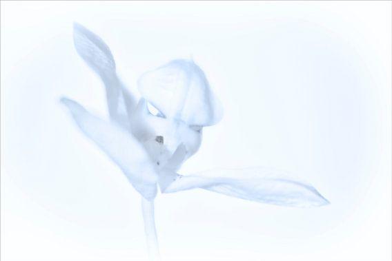 Phalaenopsis in zacht blauw.