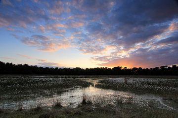 Cotton Grass sur Patrick Brouwers