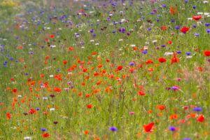 Monets summer breeze - veldbloemen (klaprozen) van