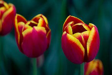 Roodgele tulpen van Harold Versteeg