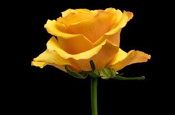 gele roos van Eric van den Berg