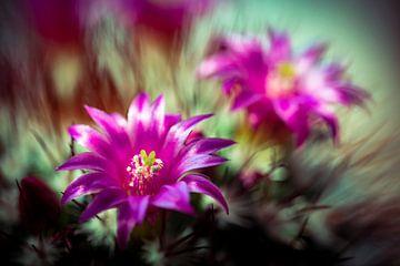 Schönheit Makro Kaktus mit lila Blüten und Stacheln mit Bokeh Details und Nahaufnahme von Dieter Walther