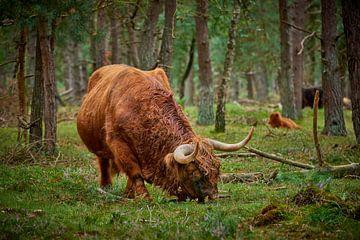 Grazende Schotse Hooglander stier in natuurgebied van Jenco van Zalk