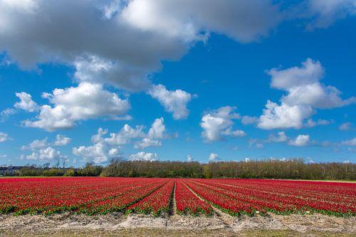 Rode tulpenbedden Callantsoog