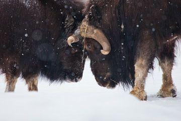 Het gevecht van de stieren, het gevecht van dichtbij. Ijsgehoornde poolreliëf van de ijstijd harig m van Michael Semenov