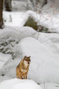 Wolf (Canis lupus) van Dirk Rüter
