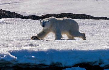 Das mächtige Raubtier, der Eisbär von Merijn Loch